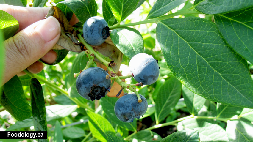 Driediger Farms: Always Best To Pick Your Own Berries For Cheap