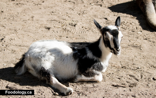 kangaroo-creek-farm-baby-goat