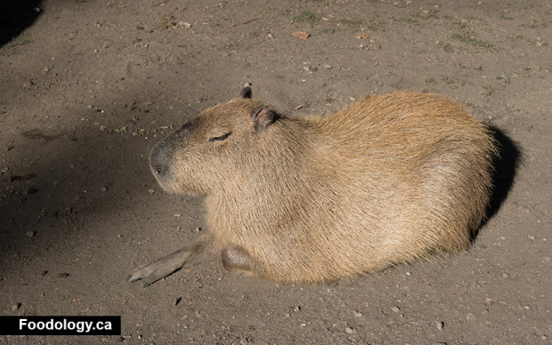 kangaroo-creek-farm-capybara