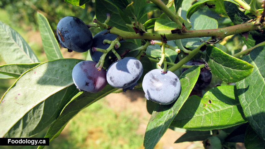 Krause Berry Farms: Blueberry Picking, Lunch, + More